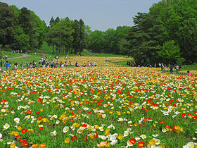 Namegawa Papaver Nudicaule In Nationnal Government Park 1.JPG