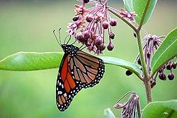 Hubungan antawisipun kupu lan kembang, tuladha simbiosis mutualisme