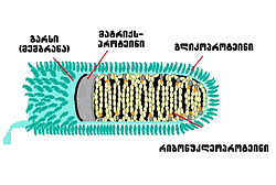 Longitudinal schematic view of rabies virus