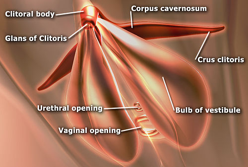 EdSim Clitoris anatomy.jpg
