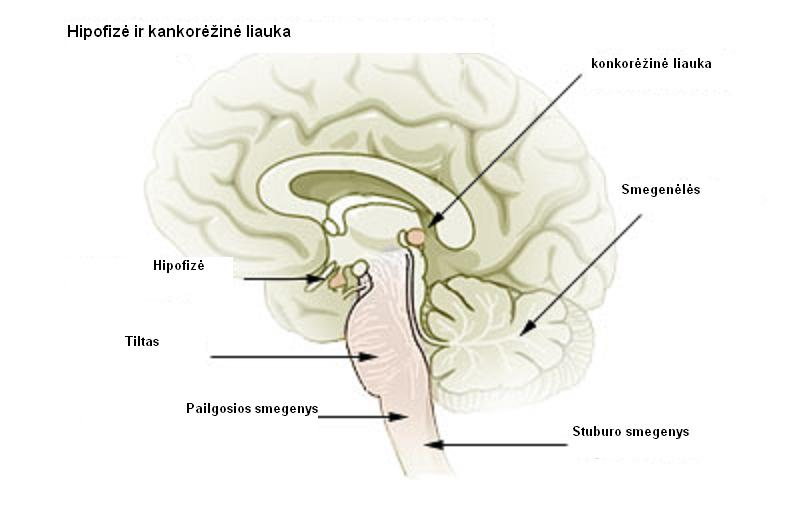 Pineal gland  Wikipedia