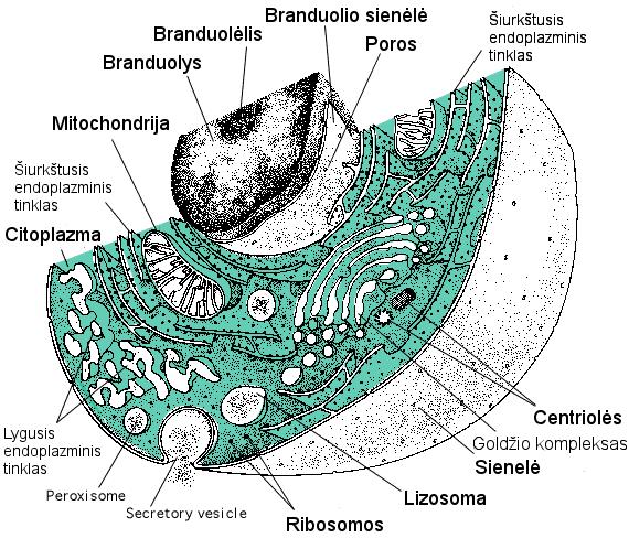 Lasteles organeles