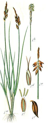 Cleaned-Illustration Carex pulicaris.jpg.jpg