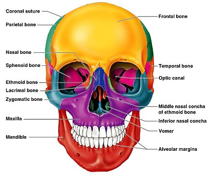 bones of the skull structure fractures teachmeanatomy - HD1208×1050