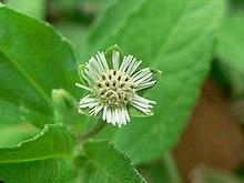 Eclipta flower.jpg