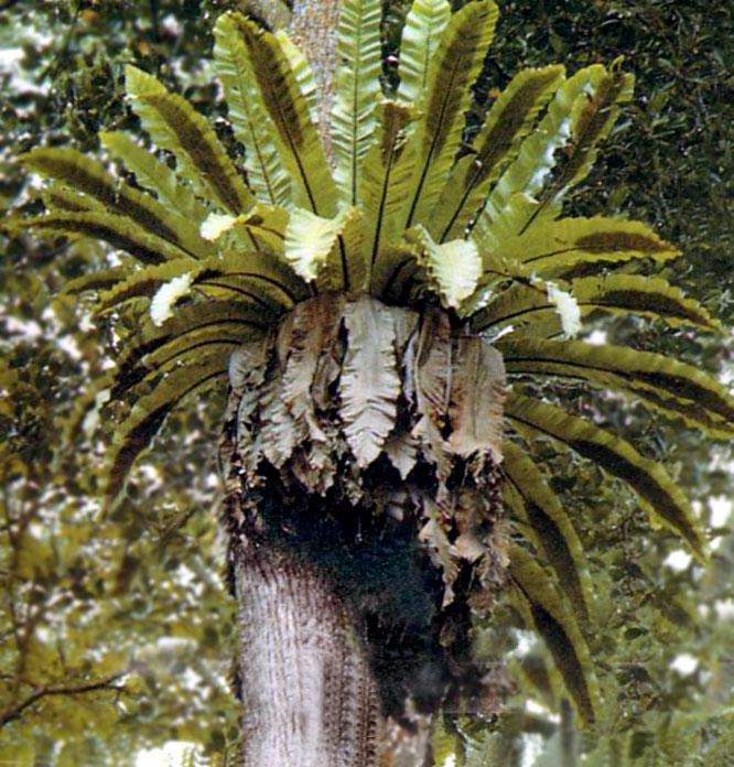 Pokok Daun Semun - Wikipedia Bahasa Melayu, ensiklopedia bebas Bird Nest With Bird
