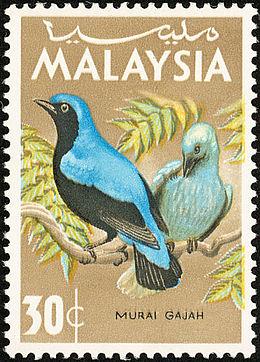 Burung Murai Gajah - Wikipedia Bahasa Melayu, ensiklope