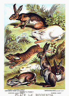 Henry J. Johnson, New York, 1882 Leporidae.jpg