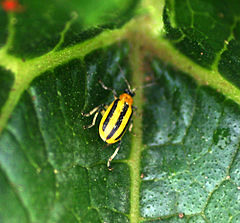 Striped cuke beetle 1119.JPG