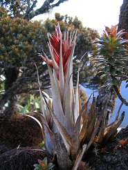 Tillandsia turneri.jpg