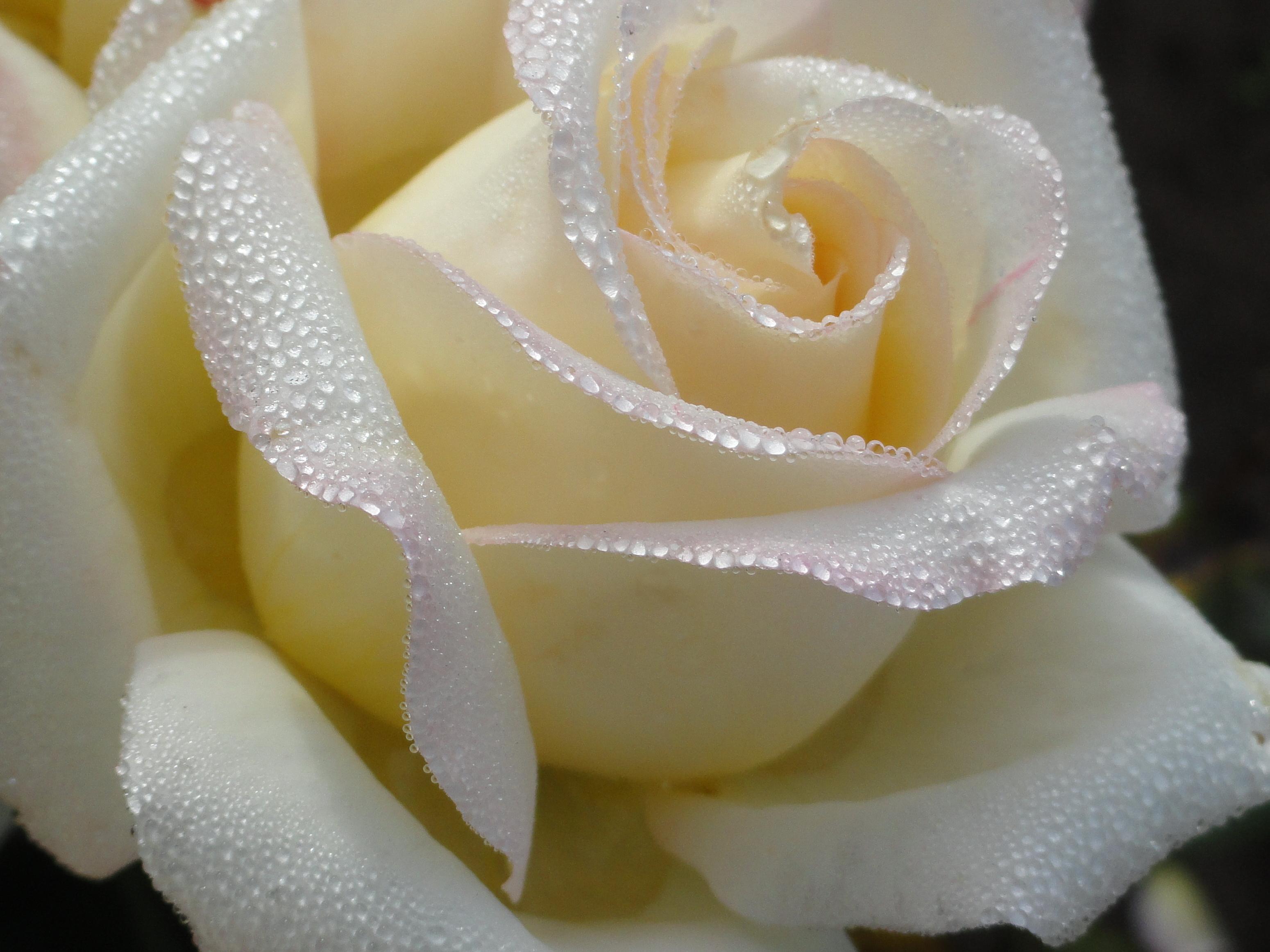 Фото цветов роз белых
