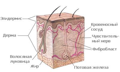 Строение кожи и волос на рисунках