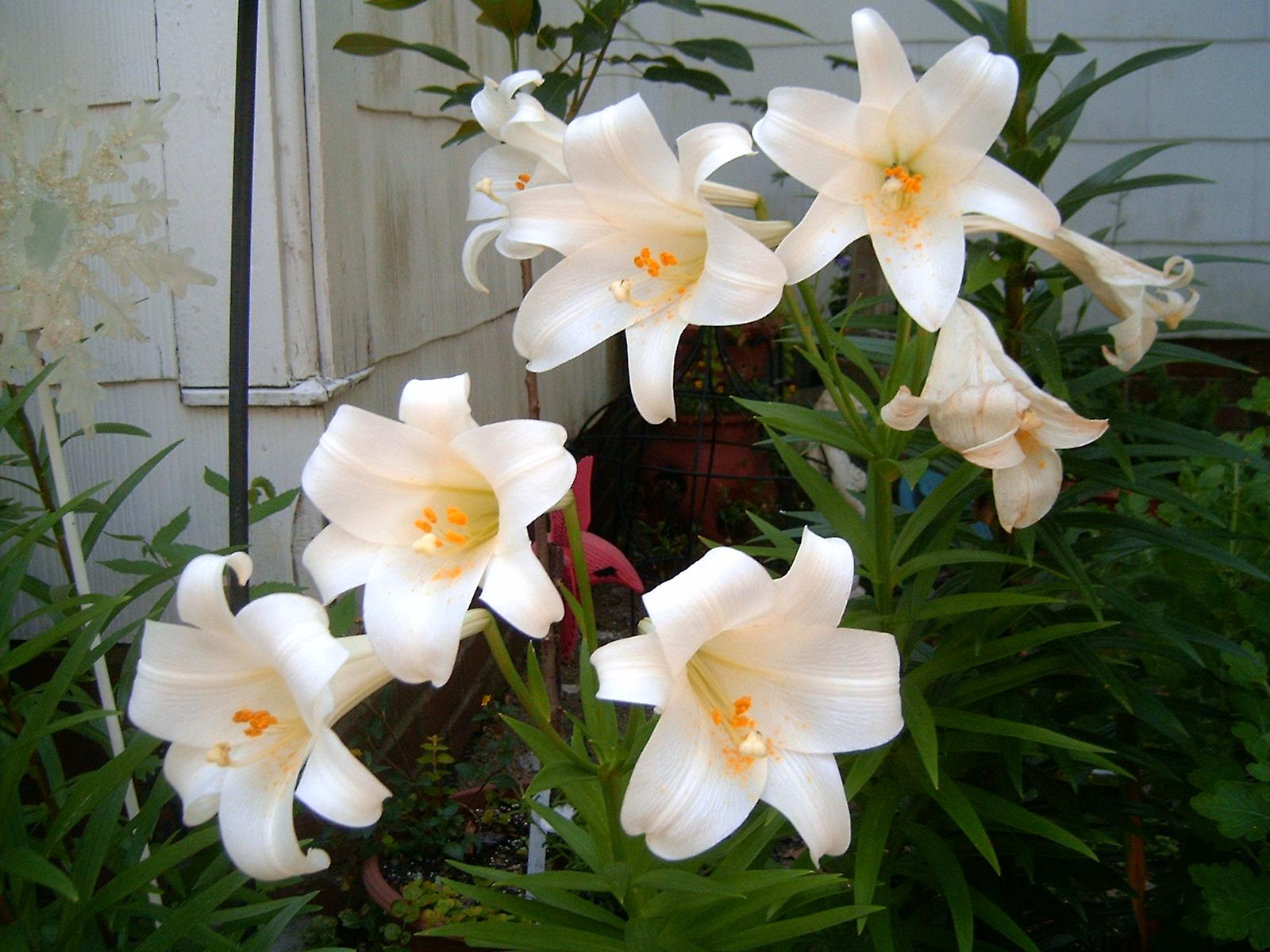 садовые лилии. фото