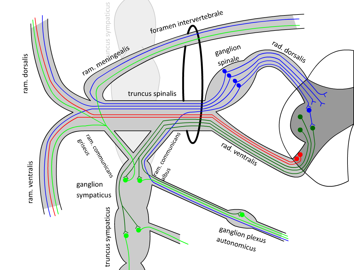Нервы спинномозговые