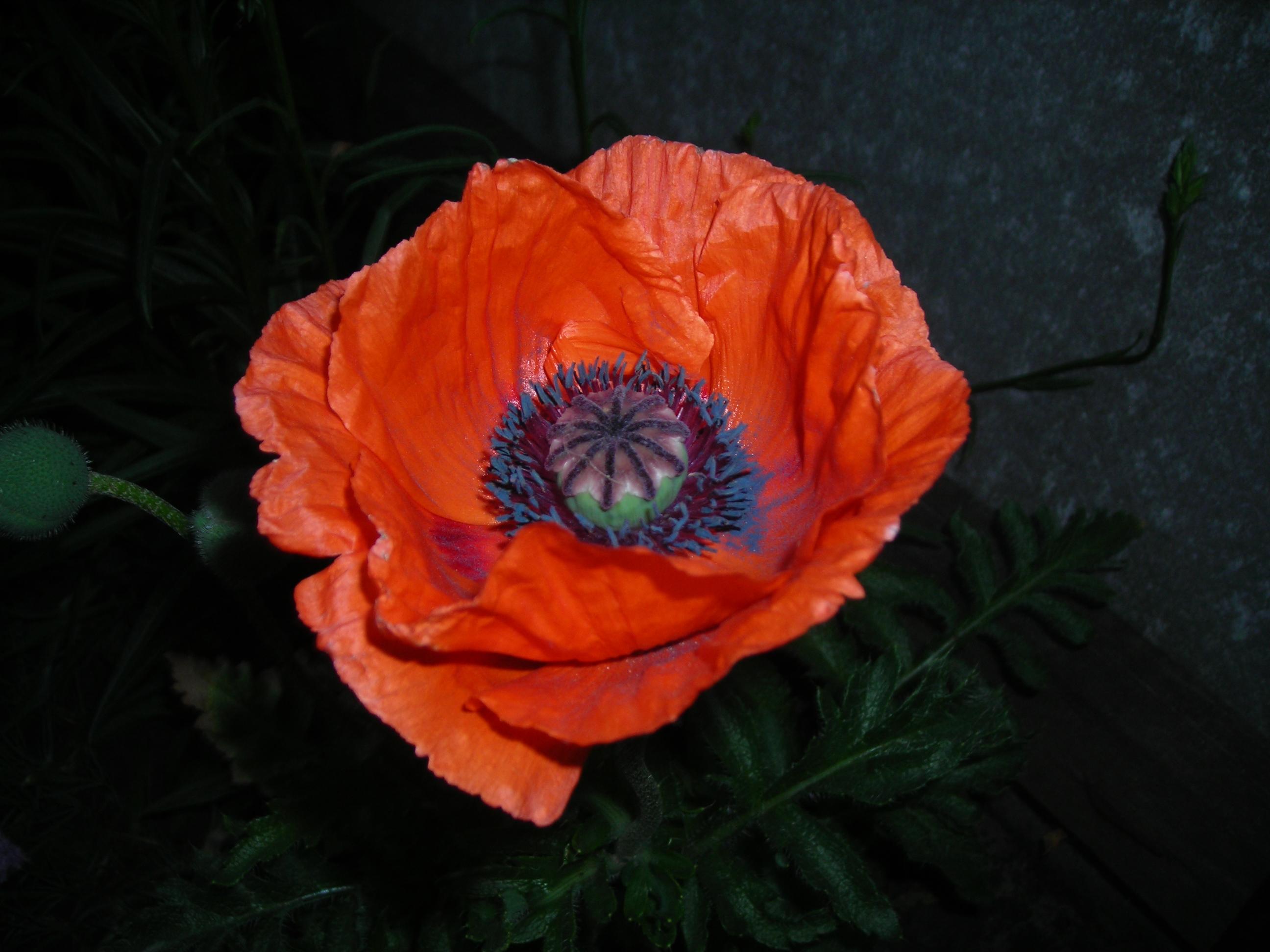 Мак цветок коробочка фото