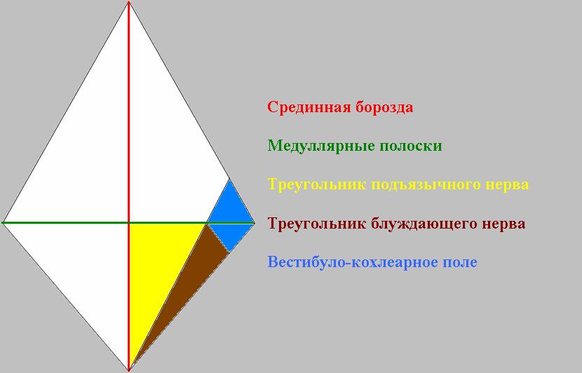 Схема ромбовидной ямки