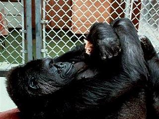 Коко (горилла) — Википедия