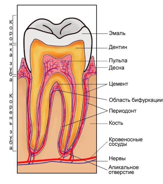 Строение зуба.jpg