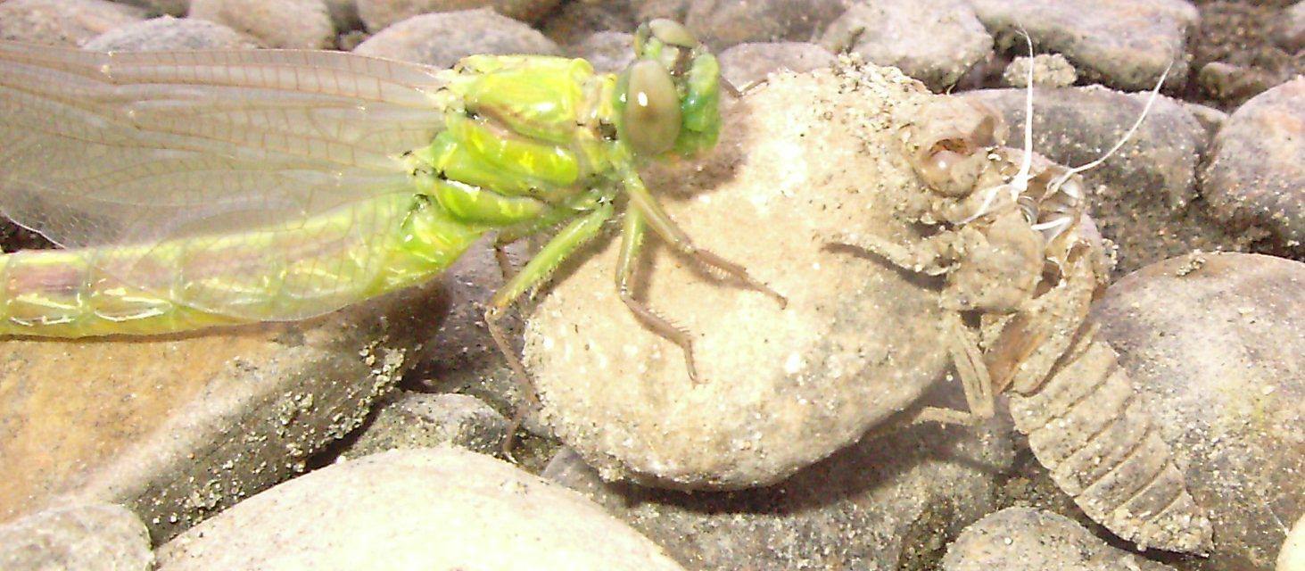 Файл:Стрекоза и ее личинка.jpg — Википедия