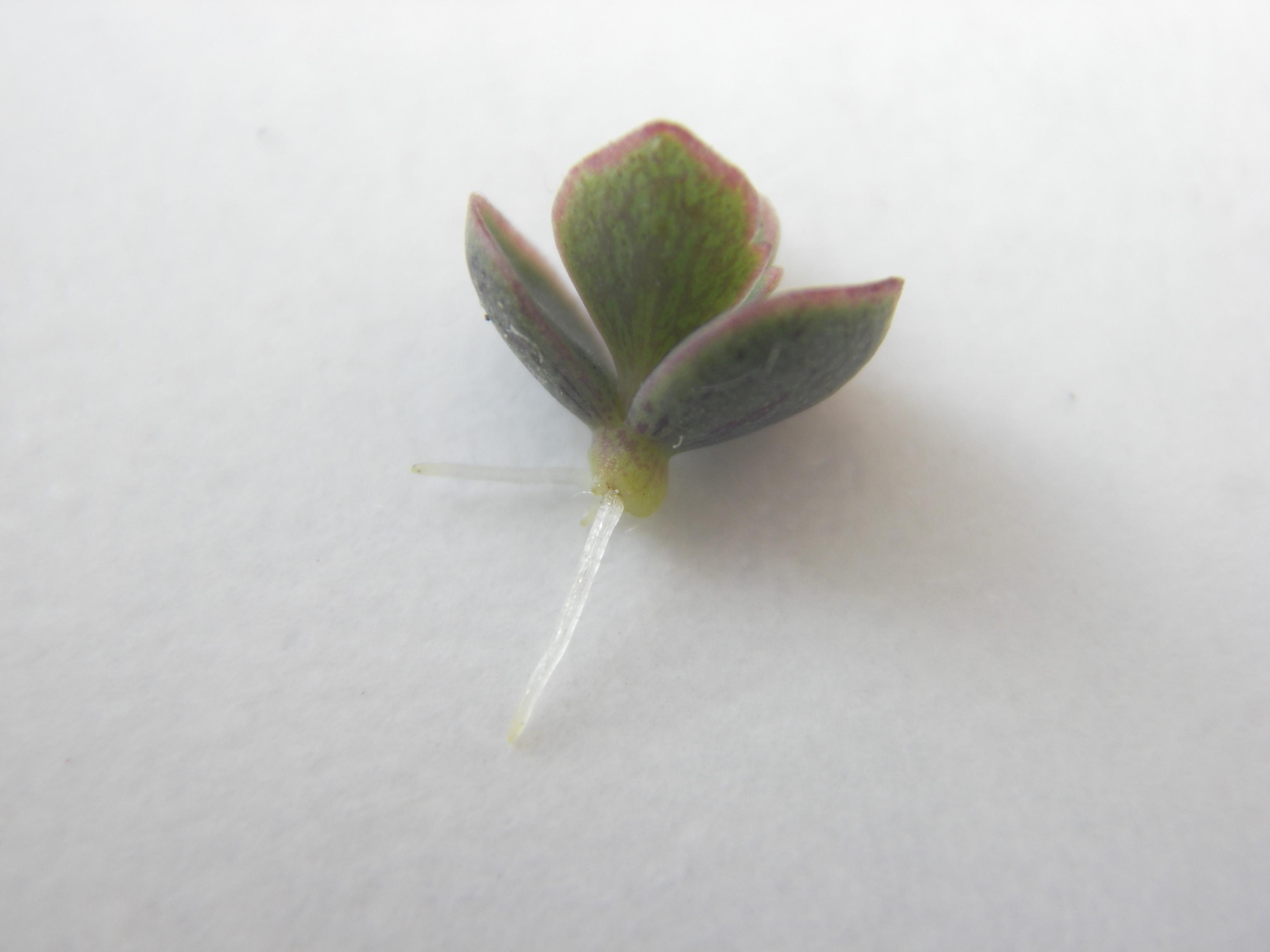 как размножается каланхоэ цветущий