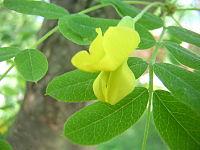 Акация желтая: фото и описание