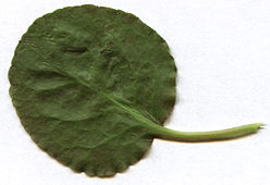 Pyrola-rotundifolia-leaf-back.jpg