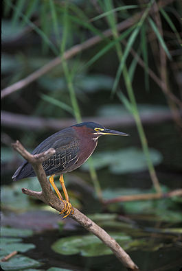 Green Heron WildLife.jpg