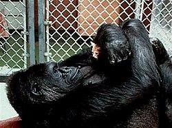 Влогалище гориллы показать