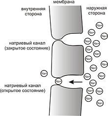 Рис.  Мембрана нейрона и натриевые каналы Простейшая схема, демонстрирующая мембрану с двумя натриевыми каналами в...