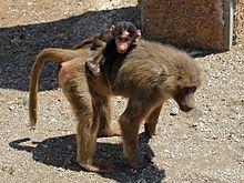 Когда бабуины нападают на человека :: Инфониак