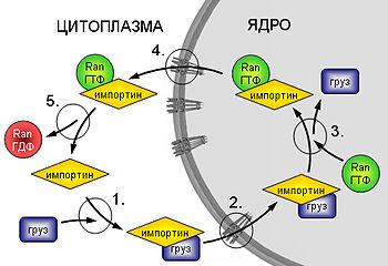Схема импорта белков в ядро.  1. Образование комплекса груз-рецептор.
