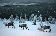 Levi - Reindeers on the Fell.jpg