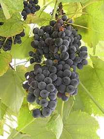 виноград сорт лидия фото