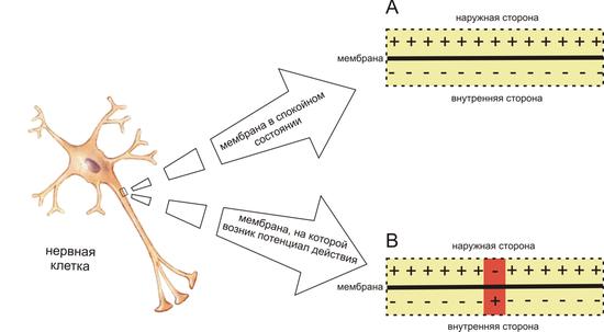 Рис.  Нервная клетка и потенциал действия Схема распределения зарядов по разные стороны мембраны возбудимой клетки в...