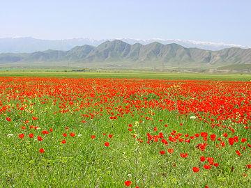 Маковое поле в Туркменистане