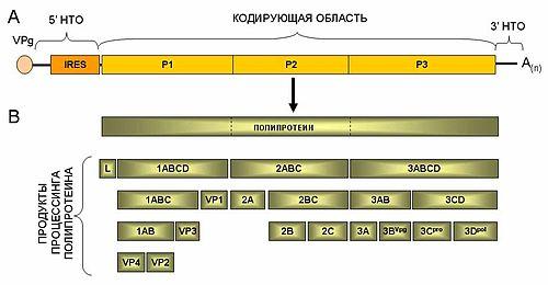 Общая схема строения геномной