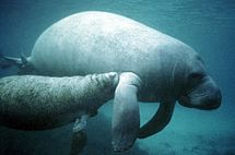 Manatee with calf.PD.jpg