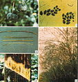 Phytophthora Diseases.jpg