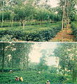 Tea cultivation.jpg