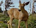 Blacktaildeer.jpg
