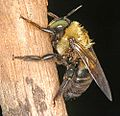 Carpernter bee 0242.jpg