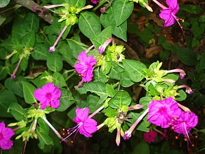 හෙන්දිරික්කා මල් - විකිපීඩියා, නිදහස් විශ්වකෝෂය Hendirikka Flower