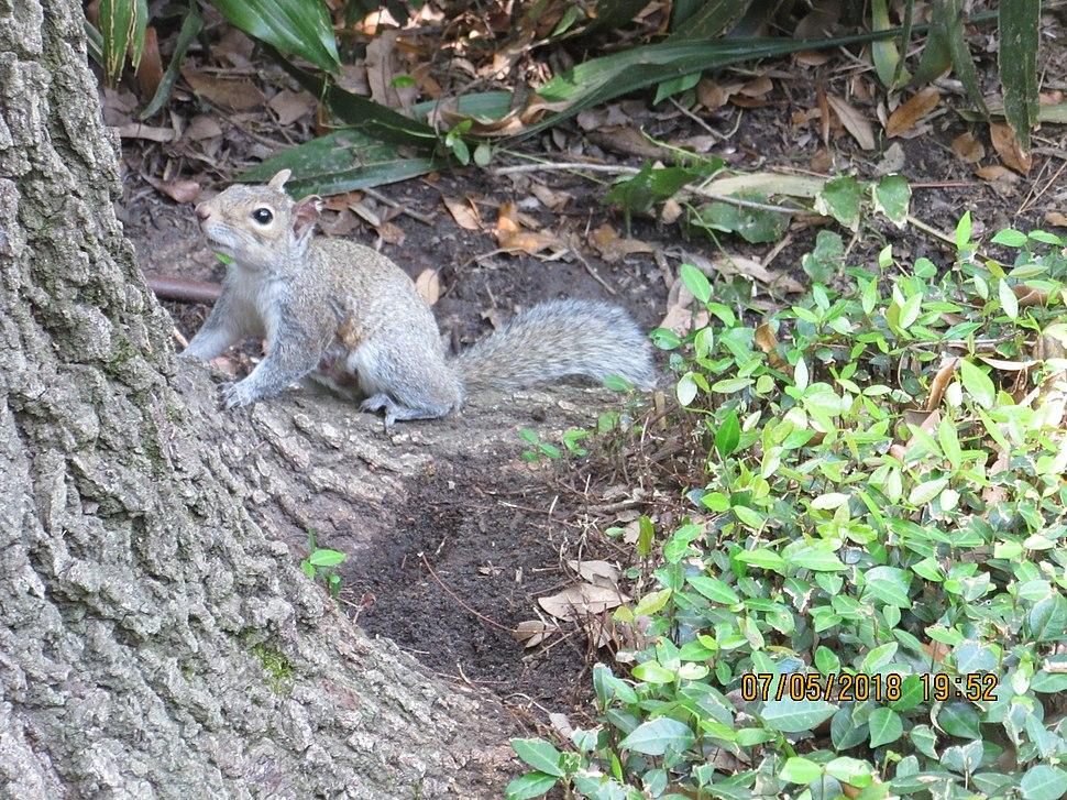 Veverica hjuston