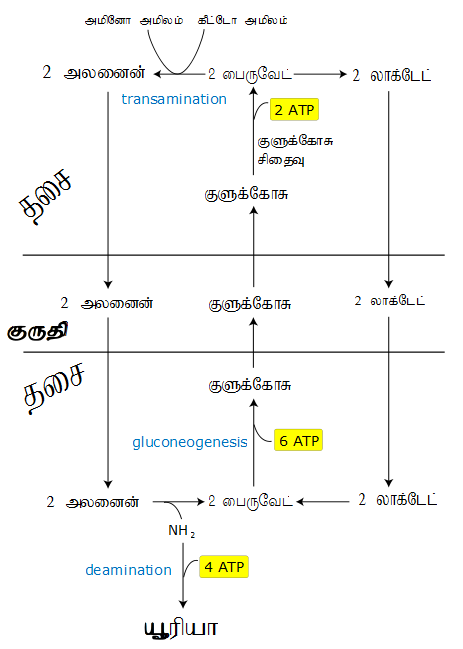 Cori & Alanine Cycle (2).png