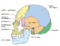 Human skull side simplified bones ta.png