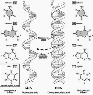 NA-comparedto-DNA thymineAndUracilCorrected.png