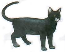 กระจอก (พันธุ์แมว) - Wikiwand