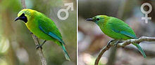 Bird BlueWLeafbird by chaiwat chinuparawat.jpg