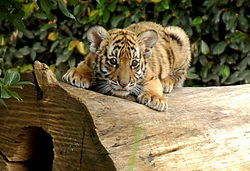 South china tiger cub.jpg