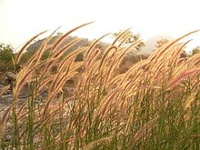 Flora Grasses at KhaoTakiab.jpg